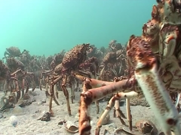 View video of Giant Spider Crab