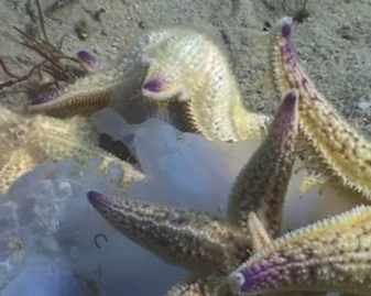 View video of Northern Pacific Seastar