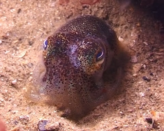 View video of Southern Bobtail Squid